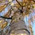 TR0009 Mature silver birch tree in autumn colours. Looking directly up trunk into tree canopy